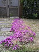 Sibazakura