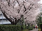 Sakura_4_2