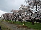 Sakura_7_3