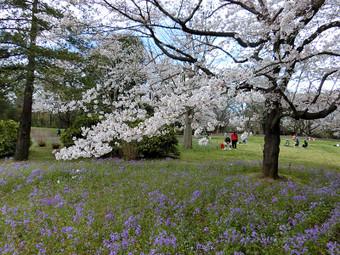 Sakura_5