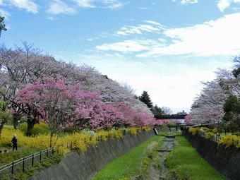 Sakura_8