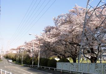 To_shiba_sakura_1