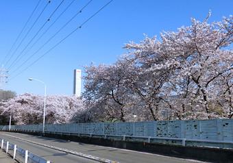 To_shiba_sakura_3