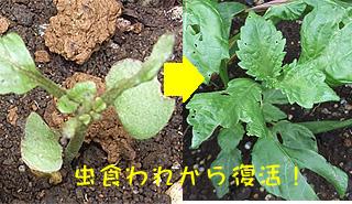 Shiso_7