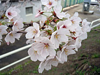 Sakura2011_2