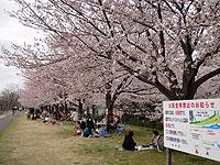 Sakura2011_3
