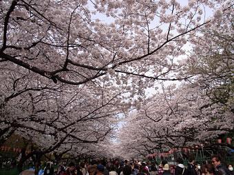 Sakura_2013_1