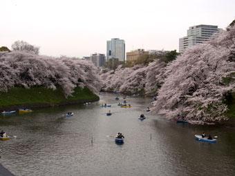 Sakura_2013_2